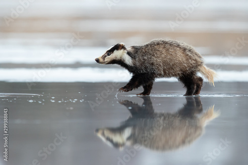 European badger (Meles meles) is a species of badger in the family Mustelidae an Fototapet