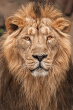 Full-length Portrait In Full Frame. Lion Is A Large Predatory Strong And Beautiful Cat With A Magnificent Mane Of Hair.
