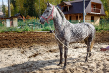 Dappled Gray Horse With Pigtails