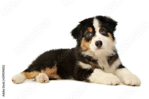 Fototapeta Studio shot of an adorable Australian shepherd puppy obraz na płótnie