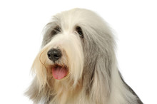 Portrait Of An Adorable Bearded Collie