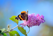 The Red Admiral (Vanessa Atalanta) Butterfly On The Pink Flowers, Close-up. Glasgow, Scotland