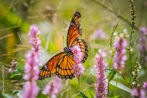 Obraz na plátne Tattered monarch butterfly continues on in spite of a rough past