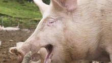 A Happy Pig Is Yawning