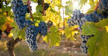 Grappe De Raisin Noir Dans Les Vignes. Vin Et Vignoble Français.