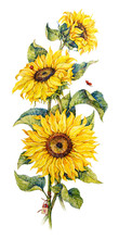 Botanical Sunflowers. Watercol...