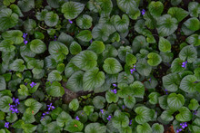 A Field Of Violets And Green L...