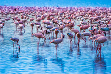 African Greater Flamingos. Pink Flamingos On A Background Of Water. Flock Of Flamingos Stand In The Blue Sea. Graceful Birds At A Watering Hole. Kenya. Safari Africa. Fauna Of The African Continent