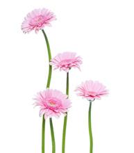 Vertical Pink Gerbera Flowers ...
