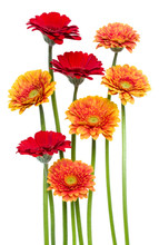 Vertical   Gerbera Flowers With Long Stem Isolated Over White Background. Spring Bouquet. .