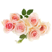 Pink Roses Isolated Over White...