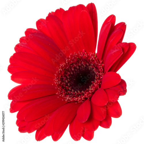 Fotobehang Gerbera red gerbera flower head isolated over white background closeup. Gerbera in air, without shadow. Top view, flat lay. .