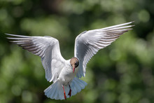 Black-headed Gull (Chroicocephalus Ridibundus) Approaching For A Landing On Water With Its Wings Opened Fully