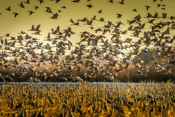 FototapetaBreathtaking scene of a troop of storks flying above a field and the yellow sky in the background