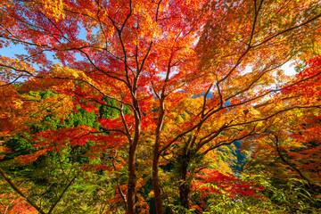 Fototapeta Drzewa Nakatsu valley