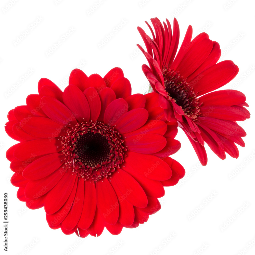 Fototapety, obrazy: Bouquet of two   red tulips flowers isolated on white background closeup. Flowers bunch in air, without shadow. Top view, flat lay.