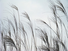 Tufted Seed Heads Of Ornamental Grass Silhouetted Against Overcast Sky