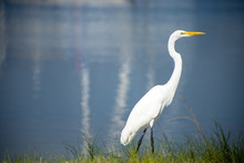 A Great Egret, Also Known As A Great White Heron, Walking Along A Shore With Calm Water In The Background.