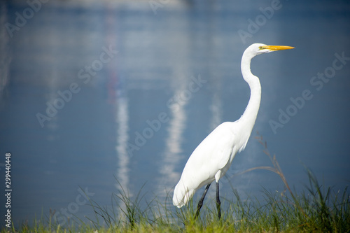 A great egret, also known as a great white heron, walking along a shore with calm water in the background Canvas Print