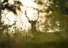 Fallow Deer, Dama Dama, Buck W...