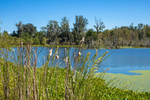 Cattails In Focus In The Foreground With A Calm Lake In The Background.
