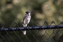 Young Blue Jay On A Fence (Cya...