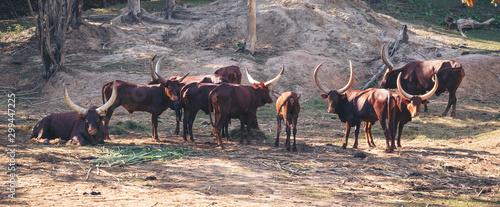 ankole watusi cattle in zoo Wallpaper Mural
