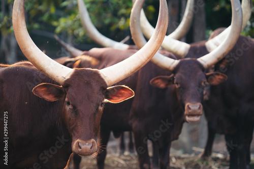 Photo ankole watusi cattle in zoo