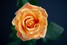 Dramatic Orange Rose Top View On Dark Background