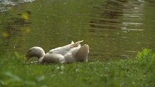 Rear View Of A White Ducks Loo...