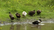 Six White And Brown Ducks Spla...
