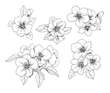 Set Of Apple Flowers. Vector Botanical Black And White Isolated Pattern.