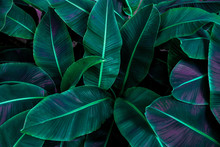 Tropical Banana Leaf Concept, ...