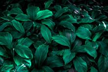 Spathiphyllum Cannifolium Leaf...