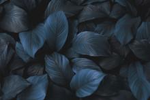 Spathiphyllum Cannifolium Conc...