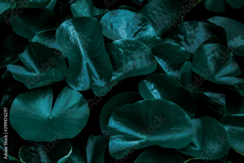 Autocollant pour porte Nénuphars closeup beautiful lotus flower and green leaf in pond, purity nature background, red lotus water lily blooming on water surface and dark blue leaves toned