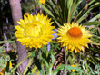 The golden everlasting (Xerochrysum bracteatum or Helichrysum bracteatum) Strawflower or Die Garten-Strohblume