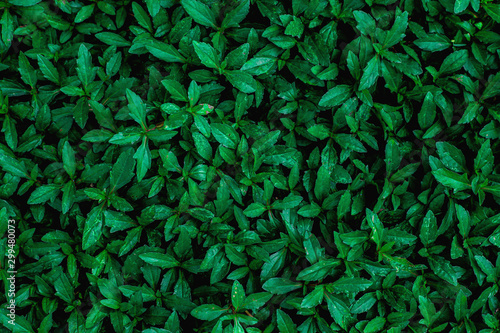 Papier Peint - tropical leaves texture, abstract green leaves and dark tone process, nature pattern background
