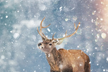 Beautiful Stag Deer In Heavy Winter And Snowfall.