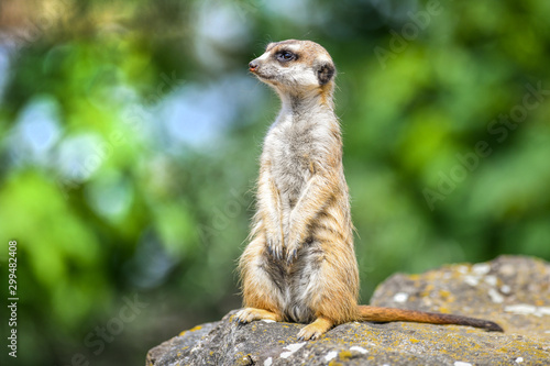 Fototapeta Portrait of meerkat on stone with color backround