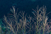 Ornamental Grass In Dark Backg...