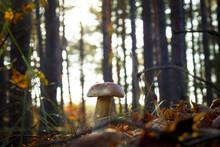 White Mushroom In Morning Sun Rays
