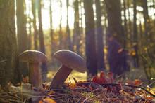 Two Porcini Mushrooms In Sun Rays