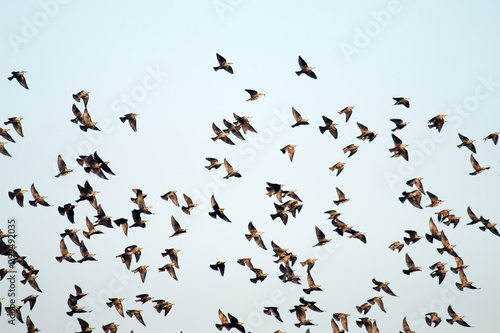 Recess Fitting Bird high degree of interaction among flying flock of starlings