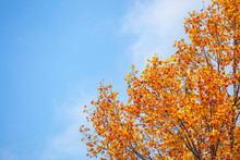 Beautiful Autumn Tree And Blue Sky