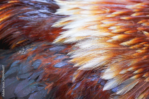 Poster de jardin Poules Rooster bantam fur texture , beautiful animal skin patterns for nature background