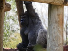 A Bored Gorilla Rests In Betwe...