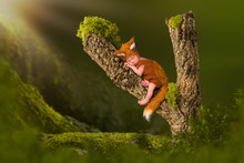 Fox Baby Sleeping In Tree