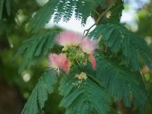 Medium Wide Clusters Of Pink Siris In A Garden