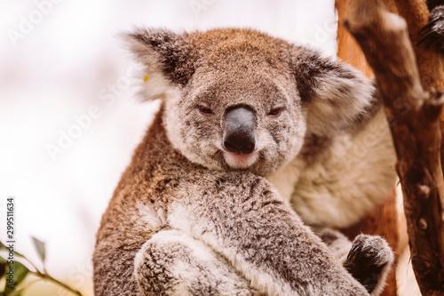 Garden Poster Koala Koala Koalabär sonnt sich im Baum